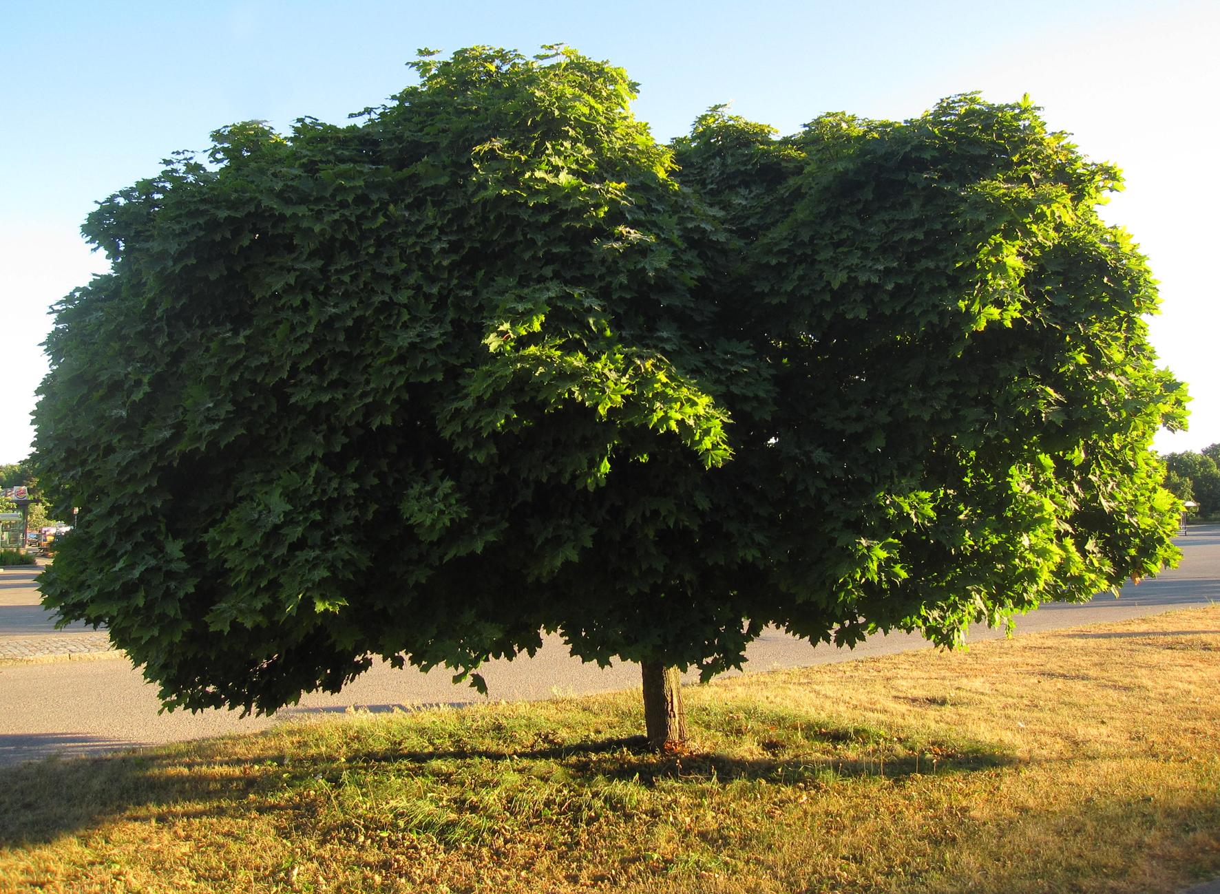 Ett vackert träd u2013 i sommartorka o iskyla En dag i taget